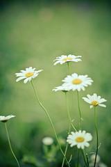 daisylemonade (Nicole Moeller (canadacole)) Tags: flowers lr edits presets