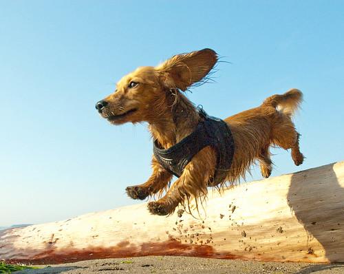 フリー画像| 動物写真| 哺乳類| イヌ科| 犬/イヌ| ミニチュアダックスフンド| 跳ぶ/ジャンプ|     フリー素材|