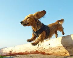 [フリー画像] [動物写真] [哺乳類] [イヌ科] [犬/イヌ] [ミニチュアダックスフンド] [跳ぶ/ジャンプ]     [フリー素材]