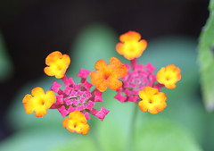 Lantana (shadamai) Tags: pink orange plant flower macro nature canon colorful bright lantana flickrchallengegroup flickrchallengewinner