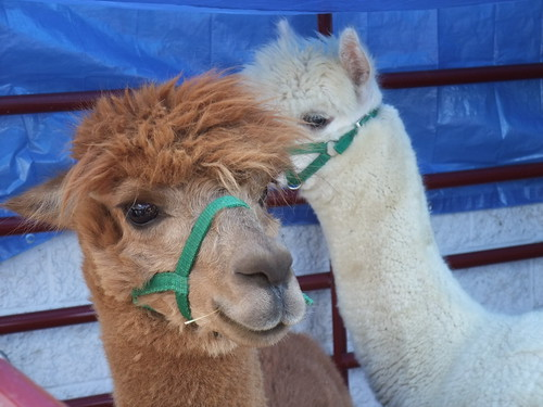 Alpacas at Athens Farmers Market 9/19/09