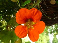Kapuzinerkresse (Tropaeolum) (O de Andrade (MoScha)) Tags: flower fleur germany deutschland flor tropaeolum blume alemanha kapuzinerkresse tropaeolaceae