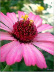 ... (revnak- hayl) Tags: pink flower macro bokeh makro iek pembe revnak
