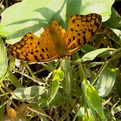 Common Leopard, Aligarh (Amber Habib) Tags: india macro butterfly sony brushfooted aligarh butterflyindia atellaphalanta commonleopard dsch50