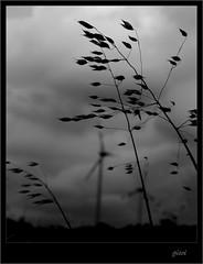 La sombra del viento (gicol) Tags: sky bw italy white black nature silhouette dark weed energy italia power wind environmental natura windmills viento bn potenza erba cielo environment bianco nero vento sustainability buio energia apulia foggia avena alternativa sostenibilità paleeoliche daunia impattoambientale malerba rinnovabili puhlia renowable
