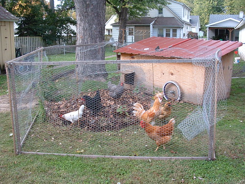 Chickens on Leaves and Grass