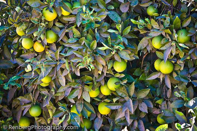 RenbergPhoto 10-16-09 Orange Groves -8