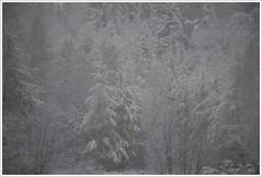 ...premire neige...!!! (4) (Denis Collette...!!!) Tags: trees wild snow canada tree forest photo quebec photos safari arbres qubec walden neige collette larch arbre photosafari denis fort sauvages thoreau sauvage firstsnowfall portneuf mlze premireneige deniscollette pontrouge photossafari firstfallofsnow
