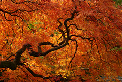 Flaming Branches, Take II (fotostevia) Tags: fallcolors japanesemaple pentaxfa352 pentaxk10d