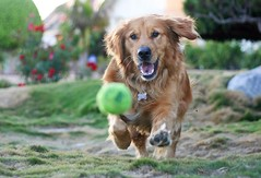 The Chase (sprinkle happiness) Tags: dog goldenretriever tennisball fetch lightroom thechase 50mmf18 chuppy idoubtthereforeimightbe
