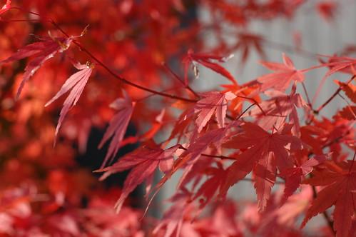 我が家の紅葉が見頃