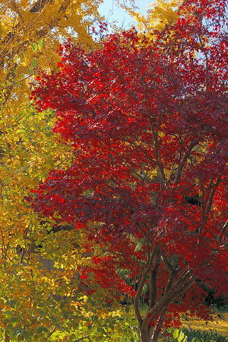 Missouri Botanical Garden (Shaw's Garden), in Saint Louis, Missouri, USA - red and yellow trees in Autumn