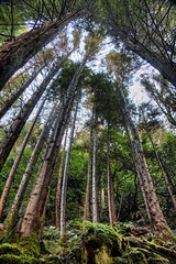 Tall Trees in HDR (Bren Cullen) Tags: trees ireland photoshop canon eos wicklow hdr cs4 photomatix rathdrum 450d