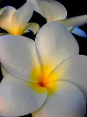 Voc reina no meu jardim. (betinho_had) Tags: life flower color planta nature cores natureza flor vida cor vegetal wonderfulworldofflowers