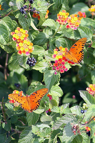 Gulf Fritillaries on Lantana camara