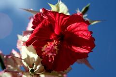 Requiem para uma flor... (Fabiana Velso) Tags: verde sol azul flor cu vermelho hibiscus ptalas raulseixas fabianavelso