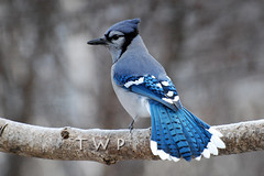 Ice Blue (WanderWorks) Tags: blue autumn winter black tree bird eye fall nature animal azul noir branch jay outdoor tail wing beak feathers aves bluejay bleu oiseau cyanocittacristata 鳥 cyanocitta cristata синий 蓝色 птица أزرق 鸟 الطيور पक्षी animalkingdomelite avianexcellence синяя नीला dsc8506nc1gm