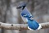 Ice Blue (WanderWorks) Tags: blue autumn winter black tree bird eye fall nature animal azul noir branch jay outdoor tail wing beak feathers aves bluejay bleu oiseau cyanocittacristata 鳥 cyanocitta cristata синий 蓝色 птица أزرق 鸟 الطيور पक्षी animalkingdomelite avianexcellence синяя नीला dsc8506nc1gm