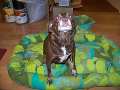 Hyzzie posing in the dog bed
