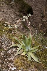 Dudleya lanceolata (Eric Hunt.) Tags: california succulent crassulaceae liveforever sanbenitocounty dudleya dudleyalanceolata