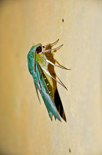 Mariposa verde (05)