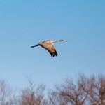 Sandhill crane thumbnail