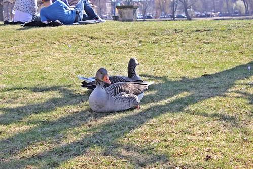 Enten im Schlosspark Moritzburg