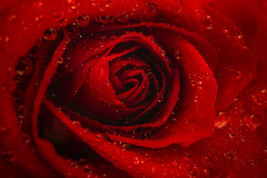 Happy Valentine's Day! (Hanna Tor) Tags: macro flower rose red water drop droplets valentine 7dwf