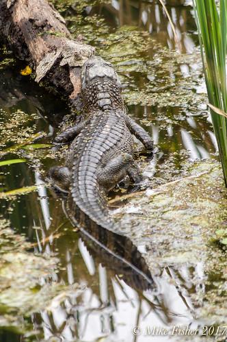 Three Year-Old Gator at Creekfield Lake