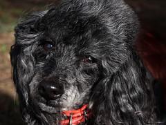 Poppy (Explored 25-2-2017) (Kerry711) Tags: sony a6000 poppy toy poodle pedigree black dog animal