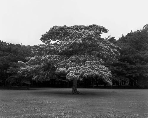 tree@nogawa