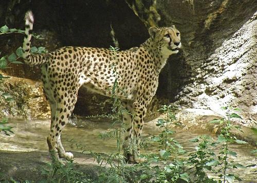 Cheetah at home at Cincinnati Zoo