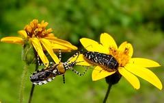 Chinche y bupréstido (Bio-Lily) Tags: naturaleza flores flower nature yellow bug bokeh coleoptera depredador chinche hemiptera buprestidae cazadorypresa