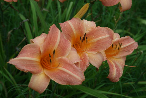 Unknown daylily