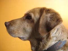 Perfil Can (Pip Pilgrim) Tags: dog pet labrador retriever