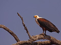 African Fish Eagle (rdknight) Tags: nature eagle botswana chobe wildbird rdknight
