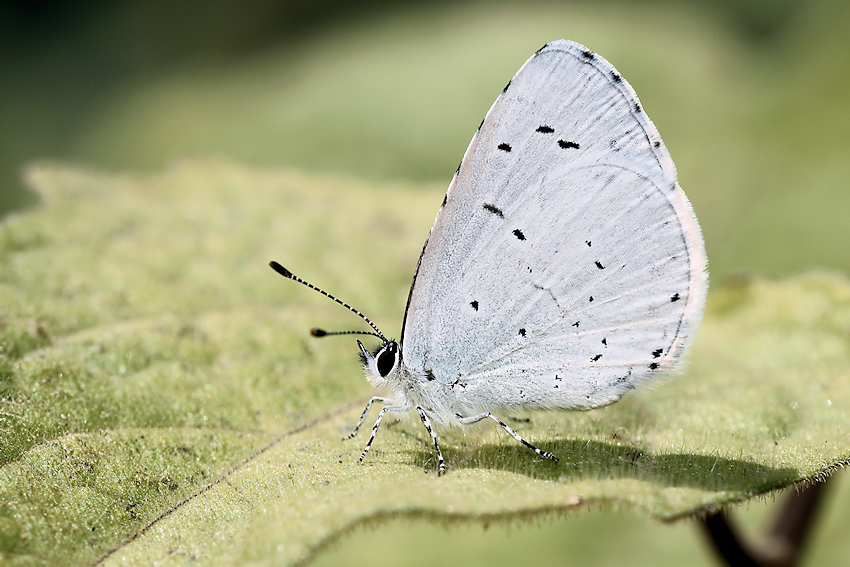 Holly blue - (Celastrina argiolus)