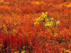 Tundra Ablaze (Ben  H.) Tags: red orange color fall leaves yellow alaska peak denali alder denalinationalpark