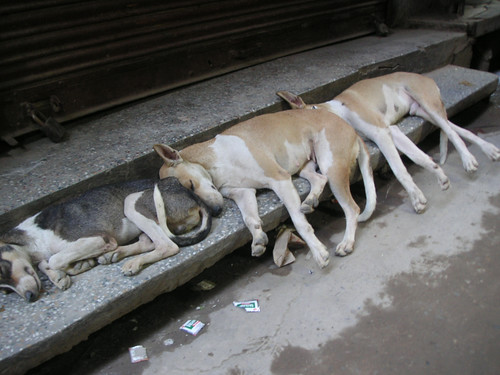 Dogs in Delhi