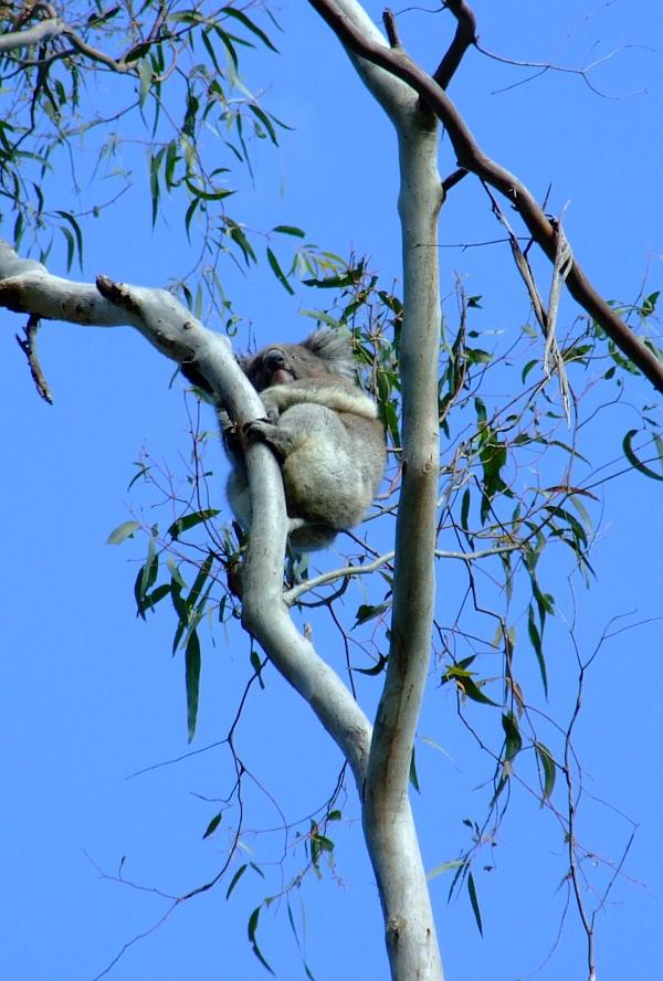 mama koala 01