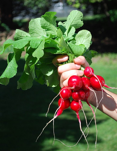 red radishes 1
