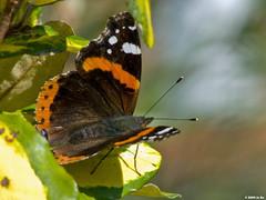 Vulcain (Vanessa atalanta) (Le No) Tags: butterfly papillon 31 insecte nymphalidae hautegaronne midipyrnes vanessaatalanta vulcain lpidoptre stlon lauragais collectionnerlevivantautrement