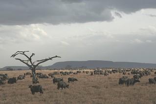 Herd of 600+ Buffalos moving under rainy clouds - Serengeti National Park, Tanzania
