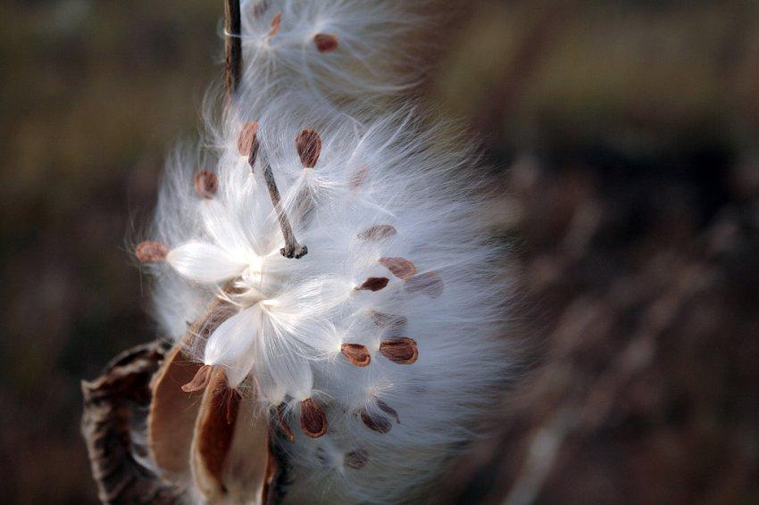 Milkweed on the Prairie-ed1