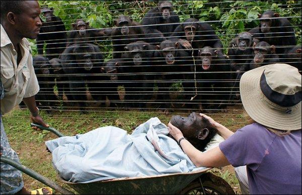 chimp-funeral-1