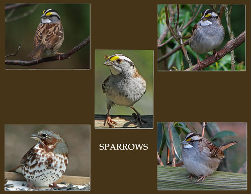 SPARROW COLLAGE