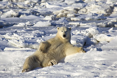Cold Chillin' (acastellano) Tags: bear white snow canada ice nature topf25 animals wildlife manitoba polarbear chilling churchill polar hudsonbay specanimal dailyrayofhope lprelaxing lp2011winners