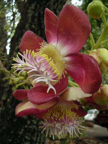Couroupita guianensis, flower (Lecythidaceae)