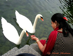 Guess ,  How Many Swans?? (Sunciti _ Sundaram's Images + Messages) Tags: friends found switzerland swan 1001nights soe sow bestshot blueribbonwinner 10faves 5photosaday goldenglobeawards hongkongphotos beautifulexpression abigfave enstantane anawesomeshot colorphotoaward impressedbeauty aplusphoto agradephoto flickraward flickerdiamond mycameraneverlies inspirationhappiness eperke brillianteyejewel concordians colourartaward goldstaraward flickrestrellas brilliantphotography rubyphotographer fabulousflicks flickrovertheshot abovealltherest mallimixstaraward elitephotgraphy artofimages flickrmasterpieces capturethefinest veryimportantphotos winklerians mostbeautifulpictures peopleenjoyingnature swanenplatz