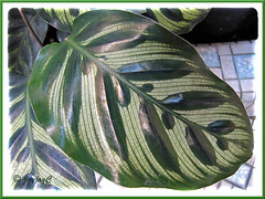 Leaf topside of Calathea makoyana (Peacock Plant, Cathedral Windows)